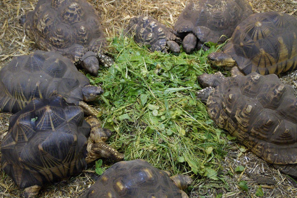 reptile, wildlife, turtle, nature, tortoise, green grass