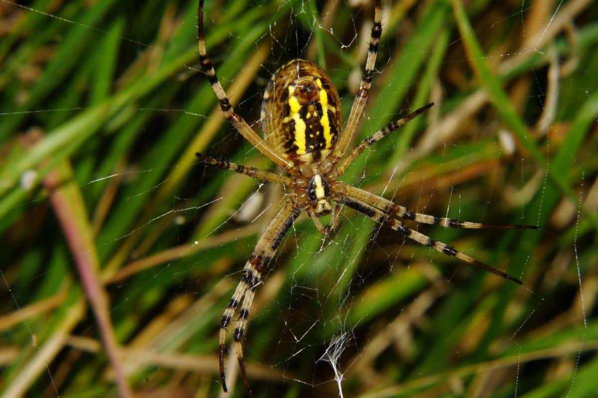 Spinne, Natur, Insekt, Arthropod, Spinnennetz, Wirbellose, tierische, grüne
