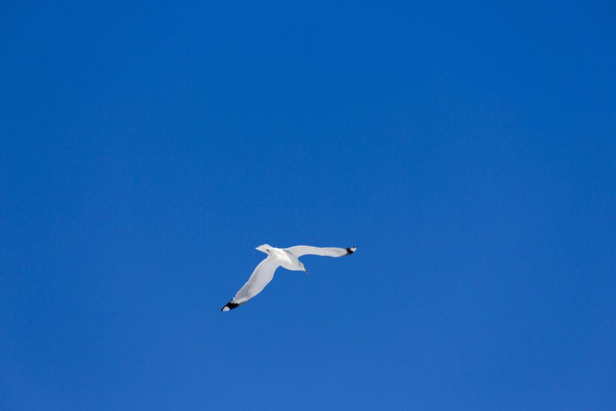 pássaro, céu, Seabird, ar, gaivota, animais selvagens, céu azul, vôo