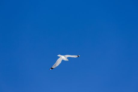 bird, sky, seabird, air, seagull, wildlife, blue sky, flight
