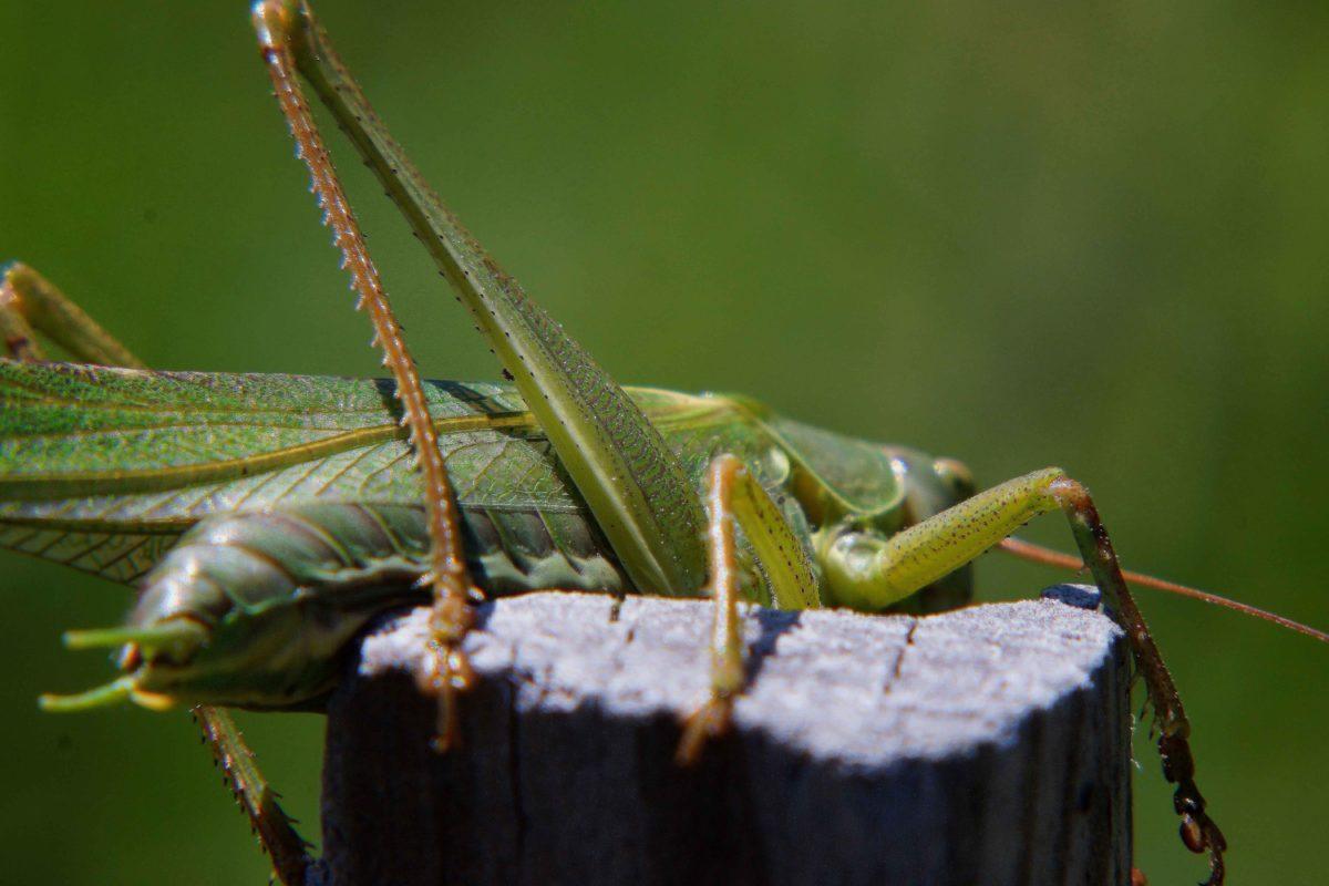 Grasshopper, grün, Heuschrecken, Insekt, Tierwelt, Mantis, wirbellose