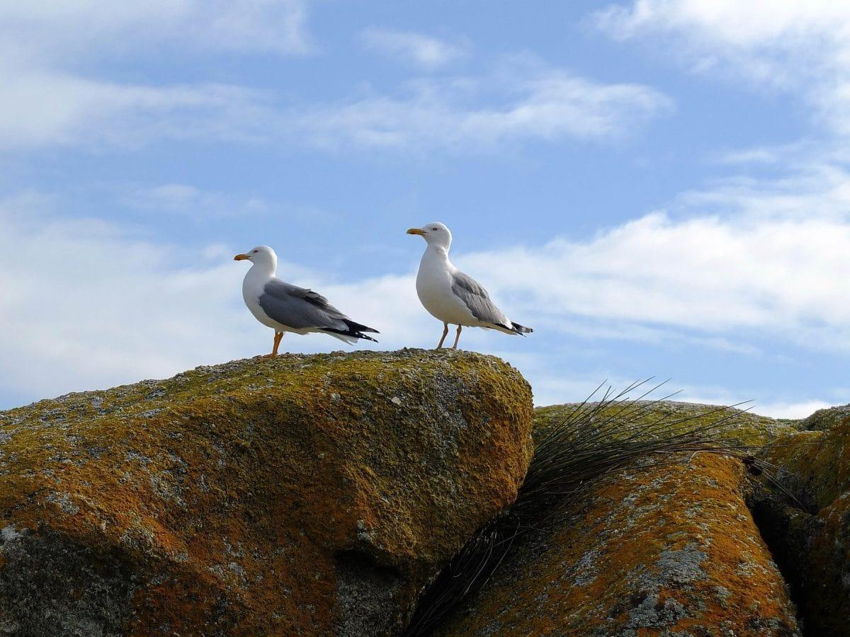 bird, sea, blue sky, wildlife, nature, seagull, seabird, feather