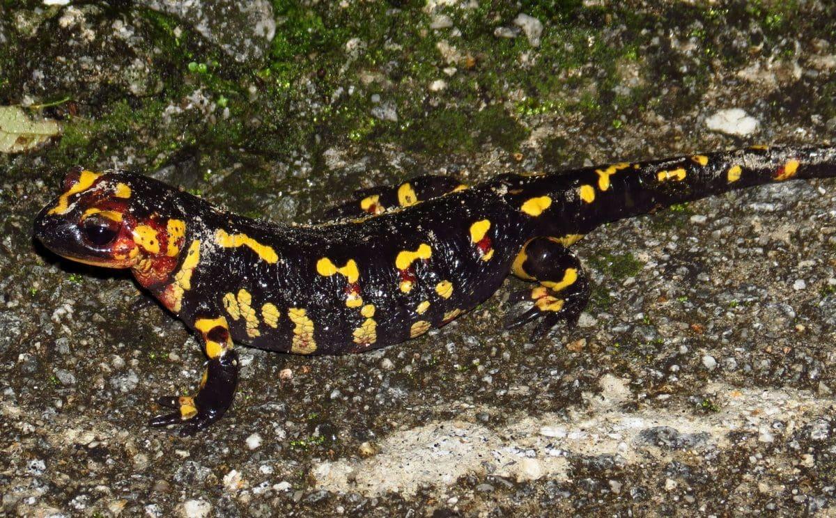 amphibian, salamander, animal, wildlife, zoology, reptile, ground