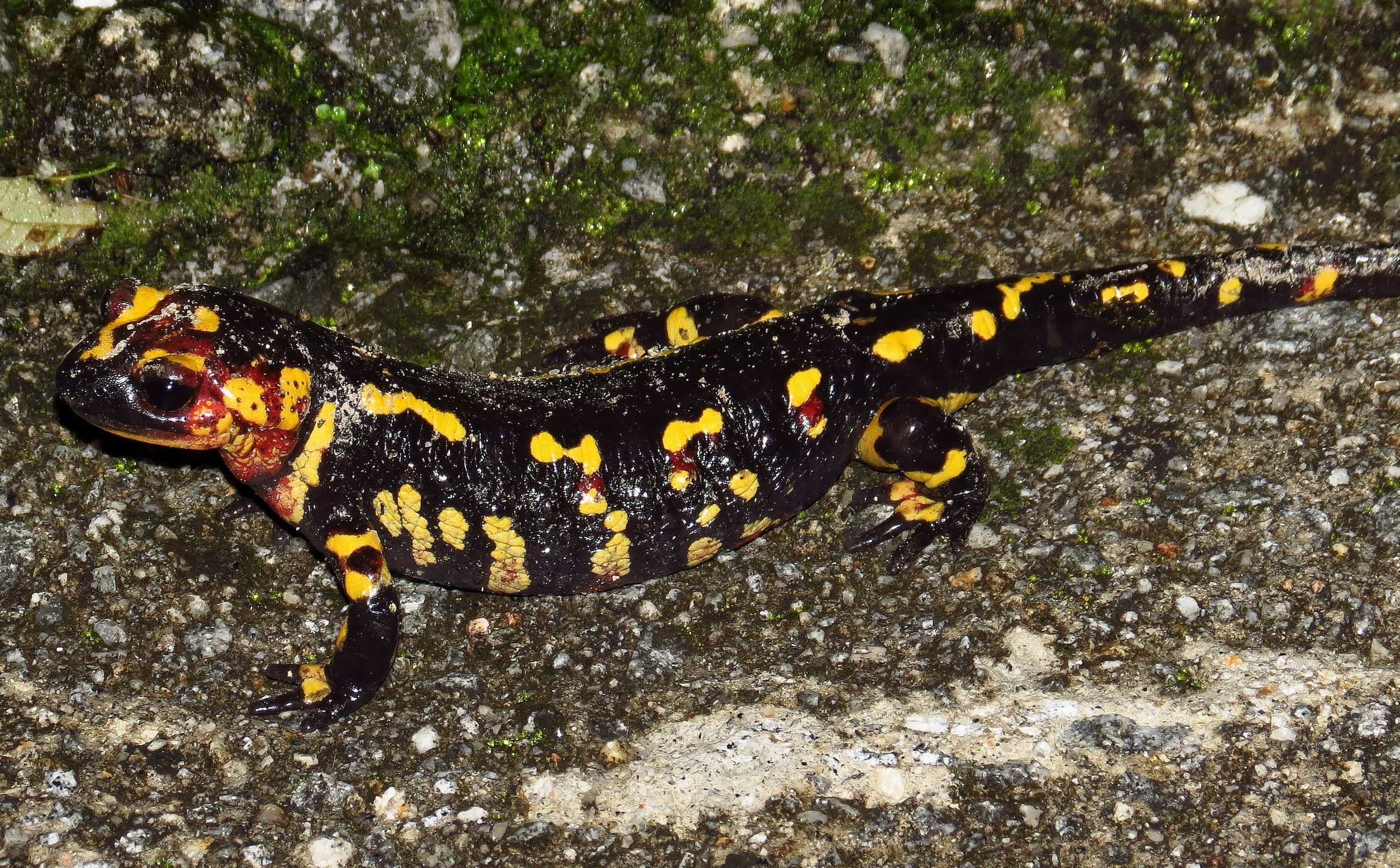8600 Gambar Hewan Salamander Terbaru