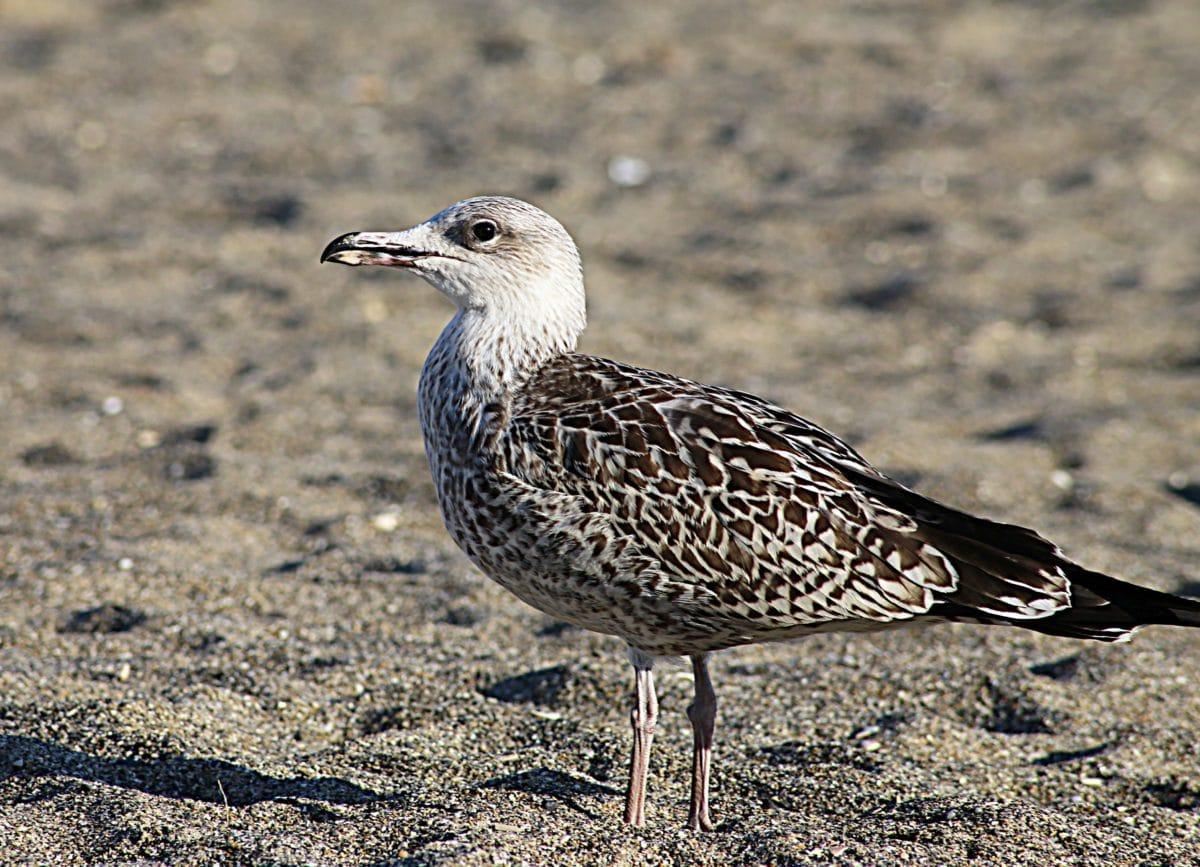 seagull,sand, bird, animal, wildlife, nature, wild, feather, ground, outdoor