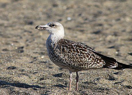 Чайка, пясък, птица, животните, дивата природа, природа, див, перо, земята, на открито