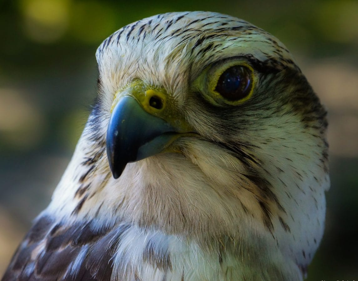 hawk, bird, falcon, falconry, head, beak, wildlife, raptor
