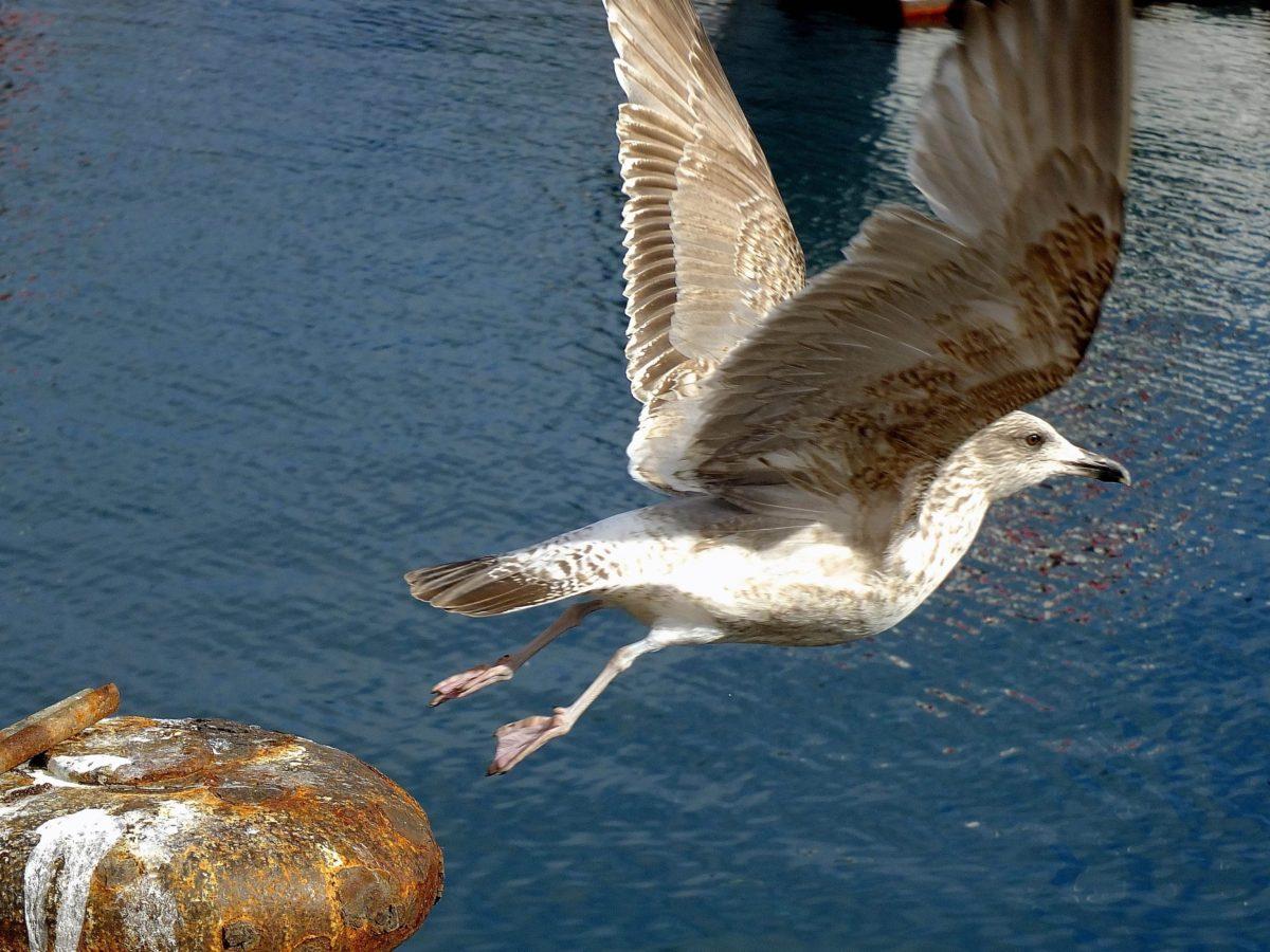 sea, bird, water, nature, seagull, flight, wing, shorebird, wildlife