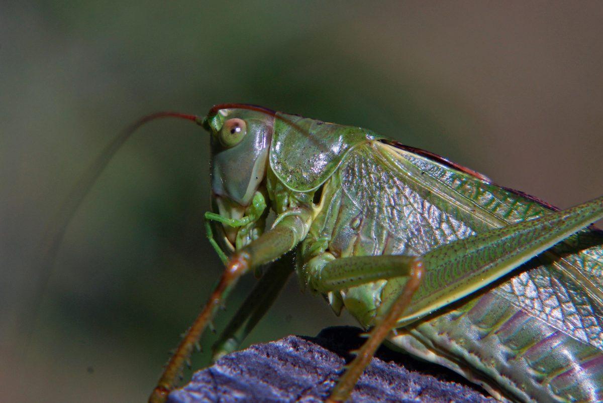 green grasshopper, wildlife, nature, invertebrate, insect, arthropod, bug, animal