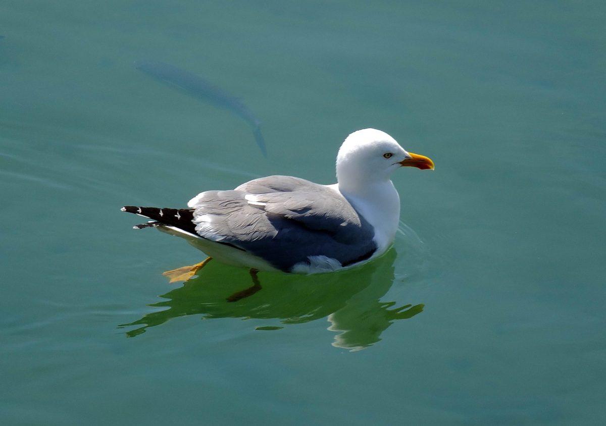 seagull, reflection, shadow, seawater, bird, wildlife, seabird, feather, beak, swimming