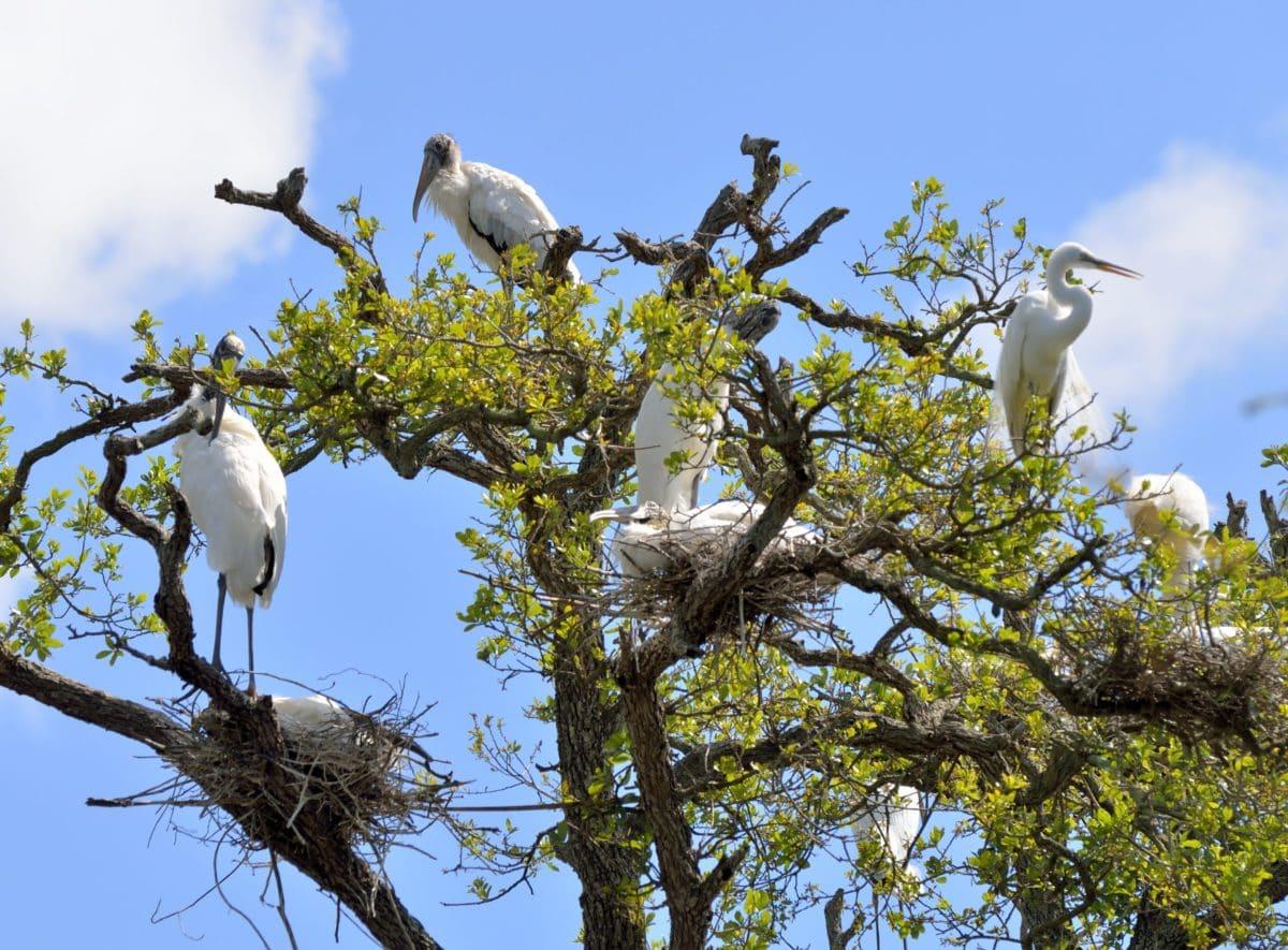 nube, bandada, pájaro, cielo azul, salvaje, vida silvestre, naturaleza, árbol, rama