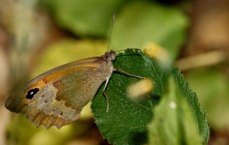 animal, insecte, papillon brun, mite, invertébré, nature, faune
