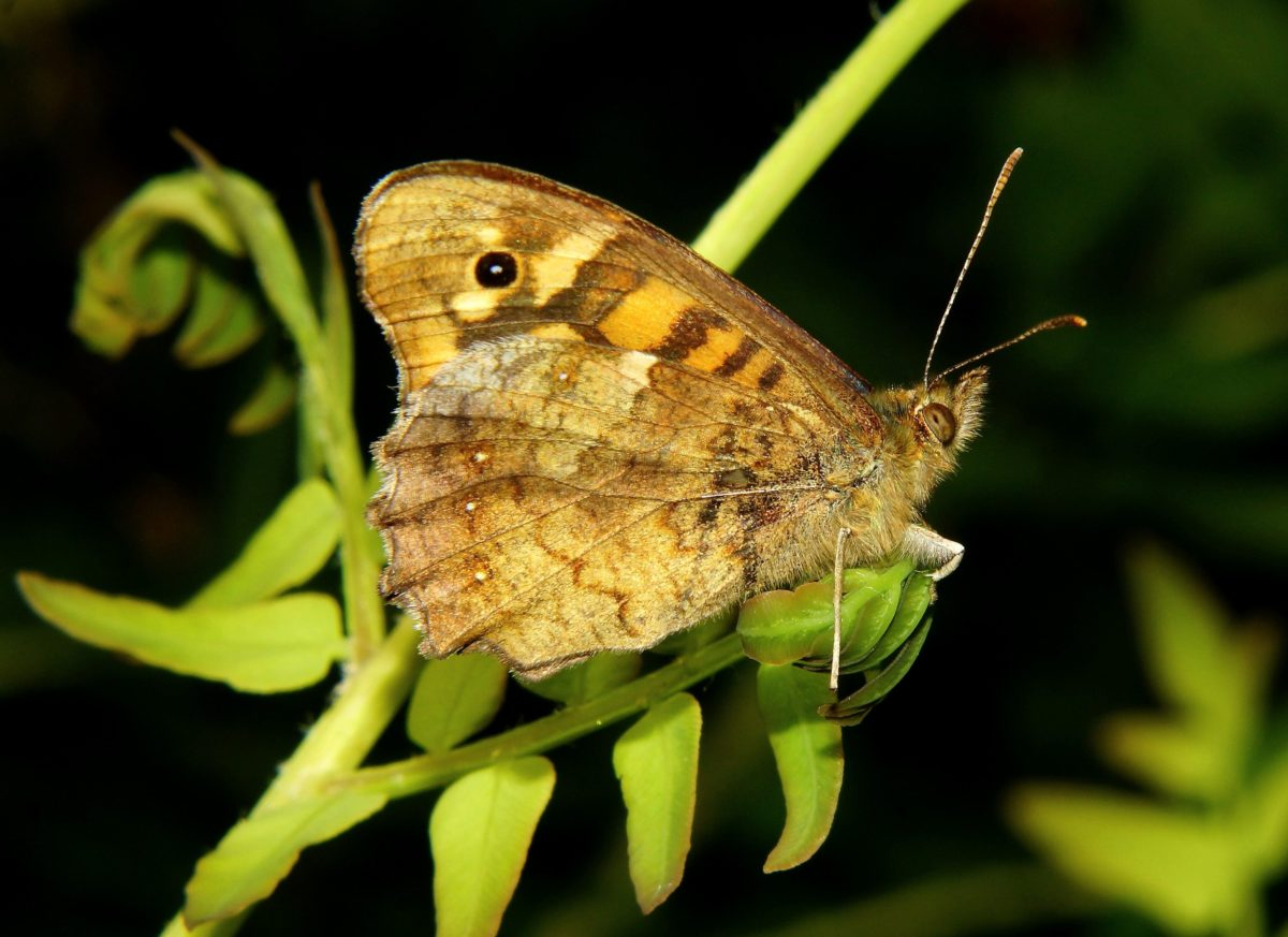 mariposa marrón, fauna, invertebrados, animal, insecto, naturaleza, hoja verde