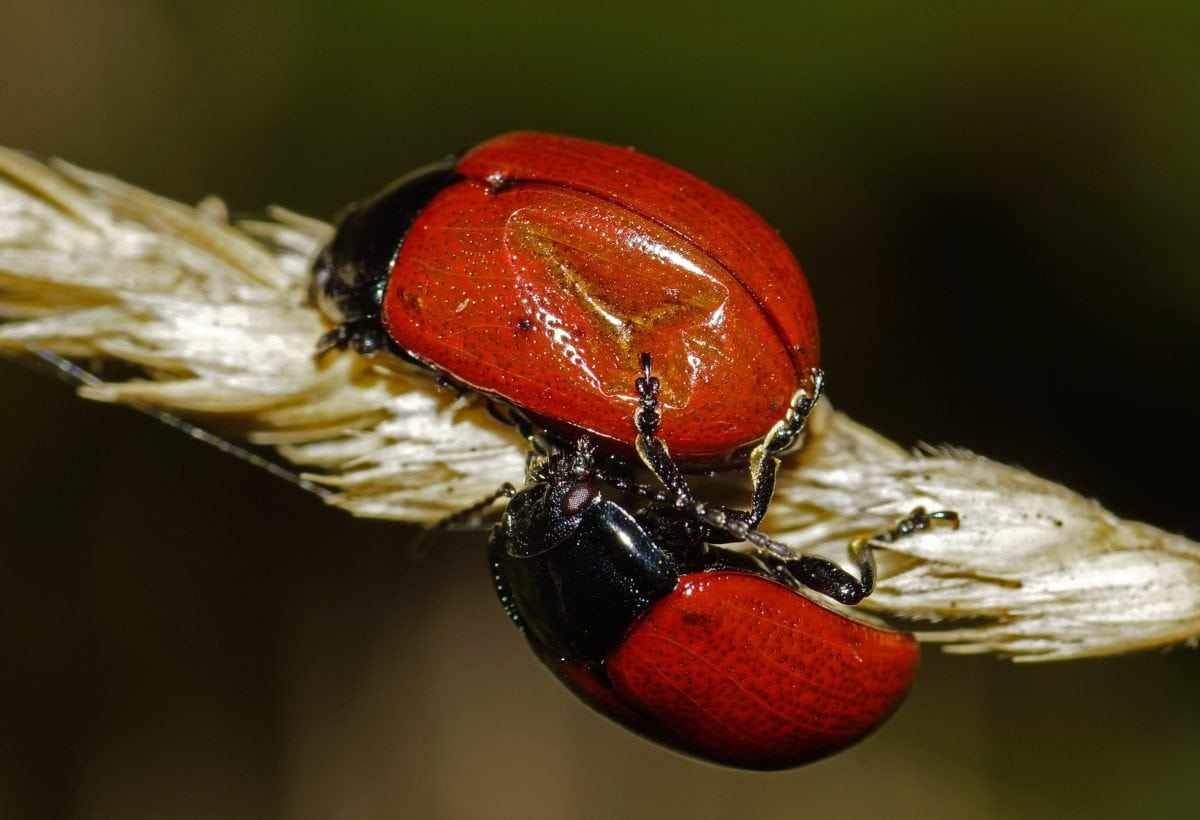 red beetle, nature, ladybug, invertebrate, insect, wildlife, arthropod