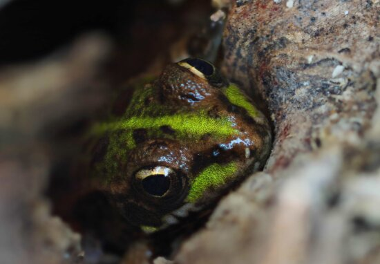 Natur, Tierwelt, grün Frosch, Wasser, Reptil, Amphibien, Auge, Tier