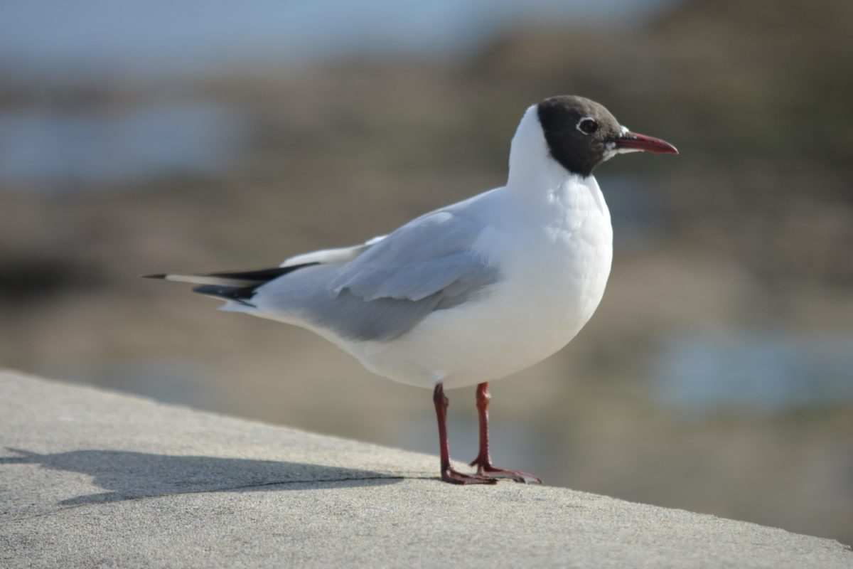 Kostenlose Bild: Tierwelt, Vogel, Seevögel, Schnabel, Feder