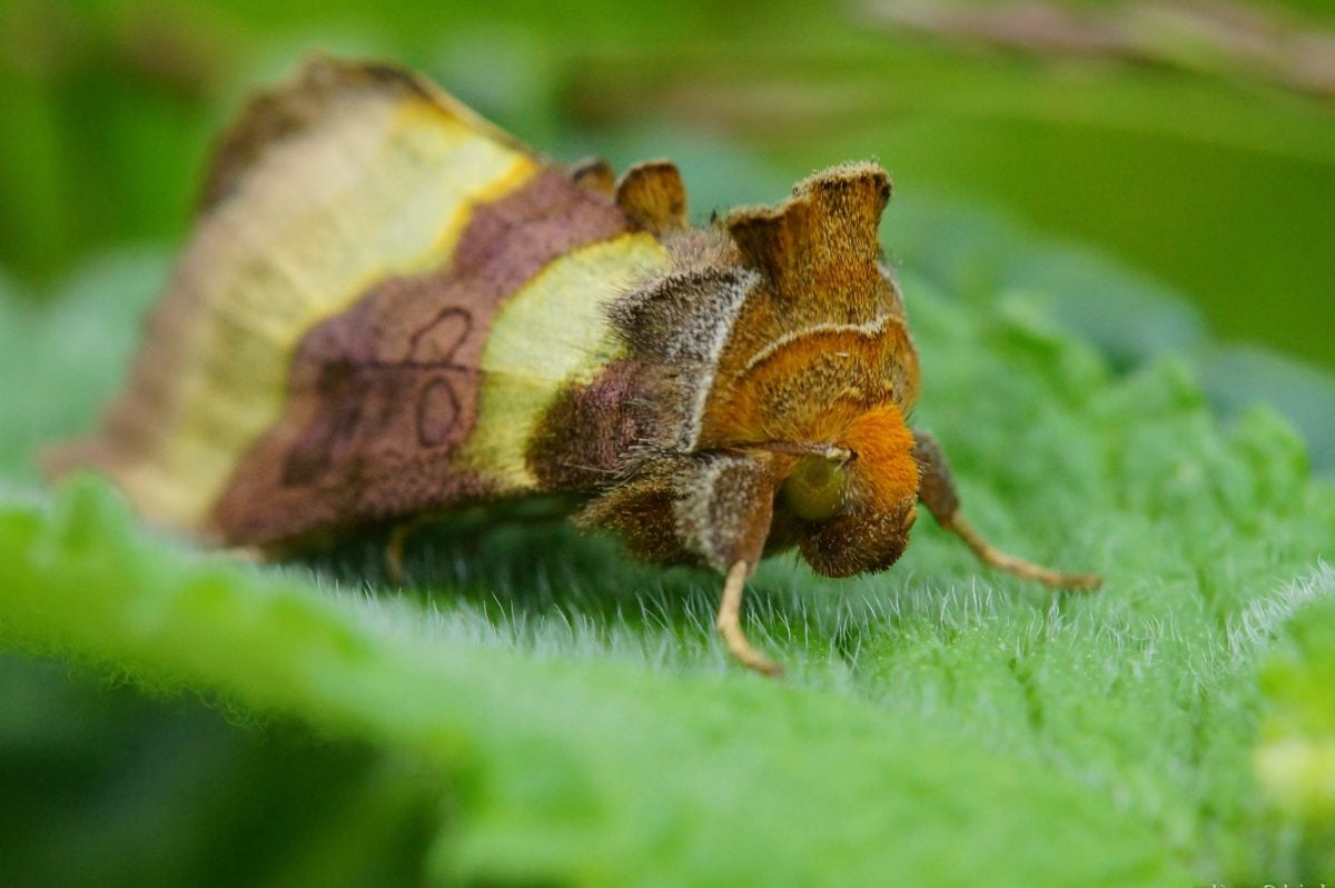 animal, insect, nature, wildlife, moth, green leaf