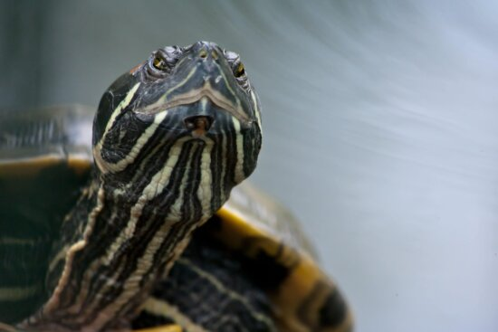 head, colorful turtle, shell, tortoise, reptile, nature, water, wildlife