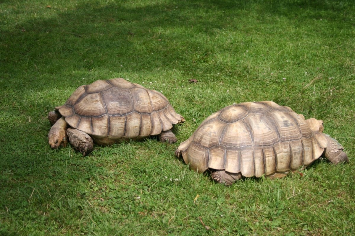 nature, animal, reptile, shell, tortoise, big turtle, armor