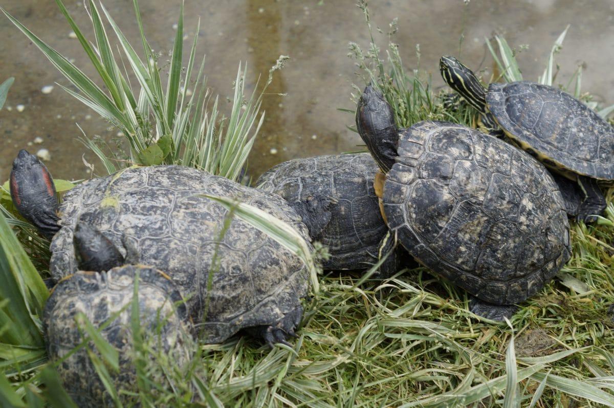 kornjača, kornjača, reptil, haitat, divljina, Shell, priroda, Outdoor