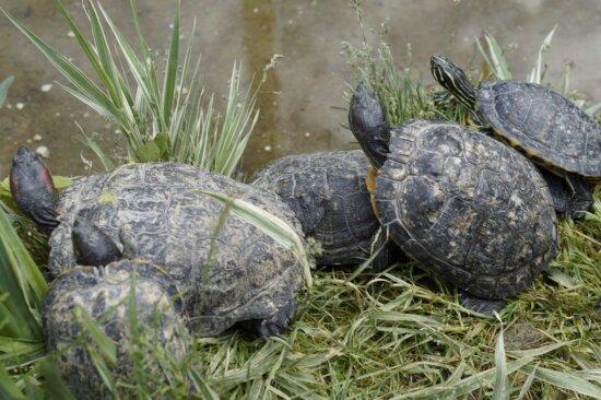 tortoise, turtle, reptile, haitat, wildlife, shell, nature, outdoor