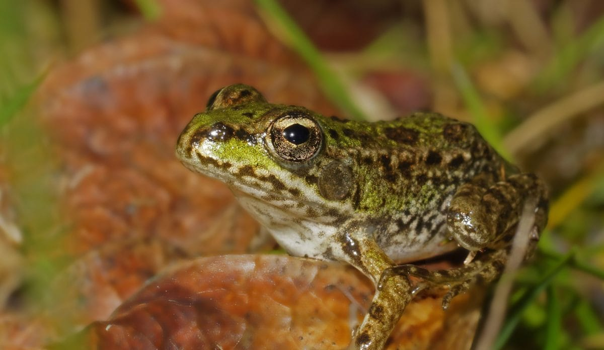anfibio, naturaleza, rana marrón, fauna, animal, ojo