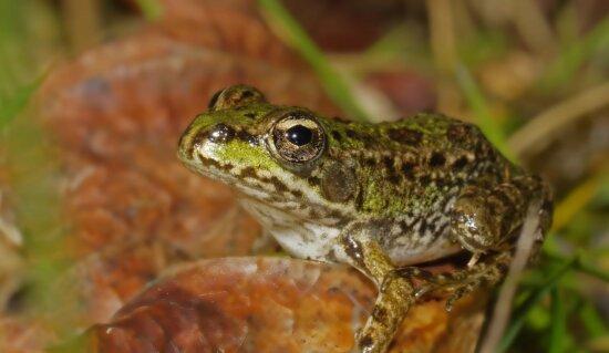 Amphibien, Natur, Brauner Frosch, Tierwelt, Tier, Auge