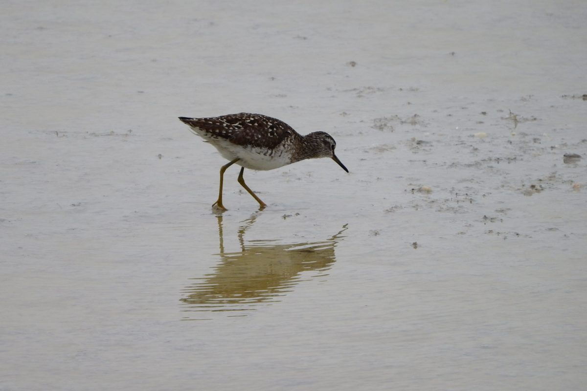 wildlife, water, bird, sandpiper, shorebird, feather, wild