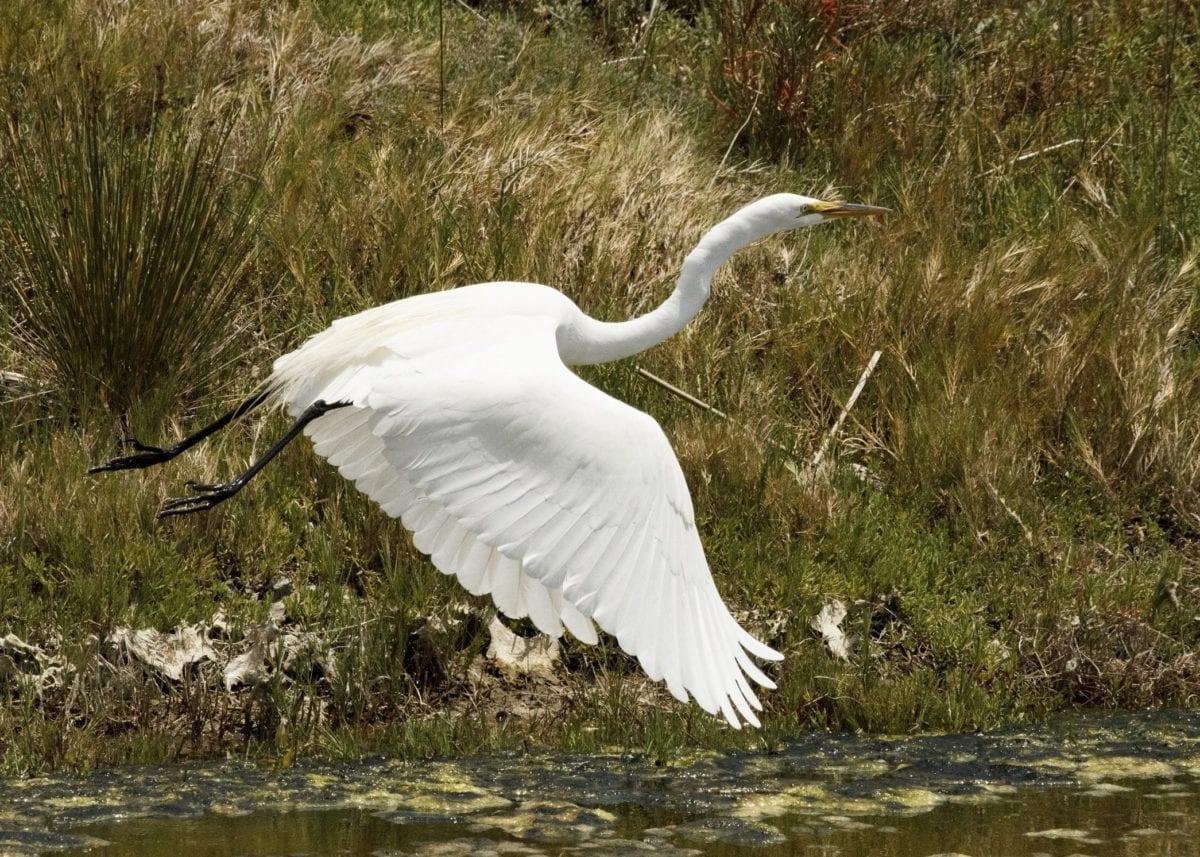 φύση, νερό, άγρια ζωή, μεγάλη ερωδιός, των ζώων, λευκό πουλί, πτήση, ράμφος