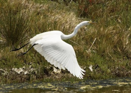 nature, water, wildlife, great egret, animal, white bird, flight, beak