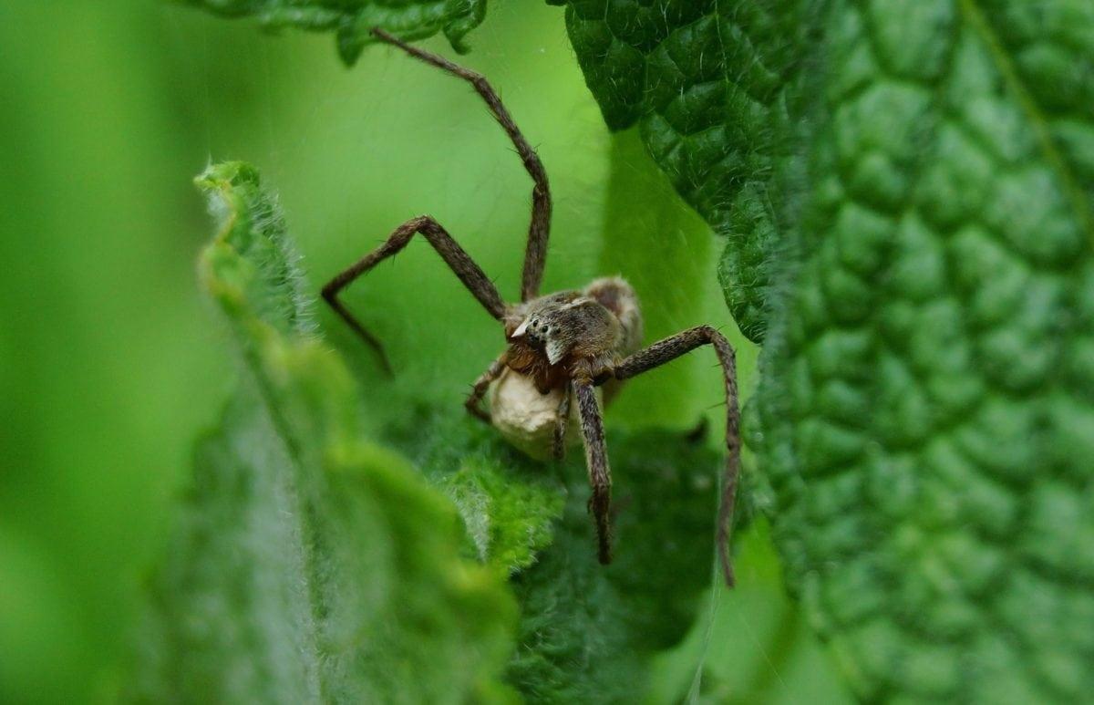 priroda, divljina, pauk, zeleni list, kukac, Arthropod, beskraljak