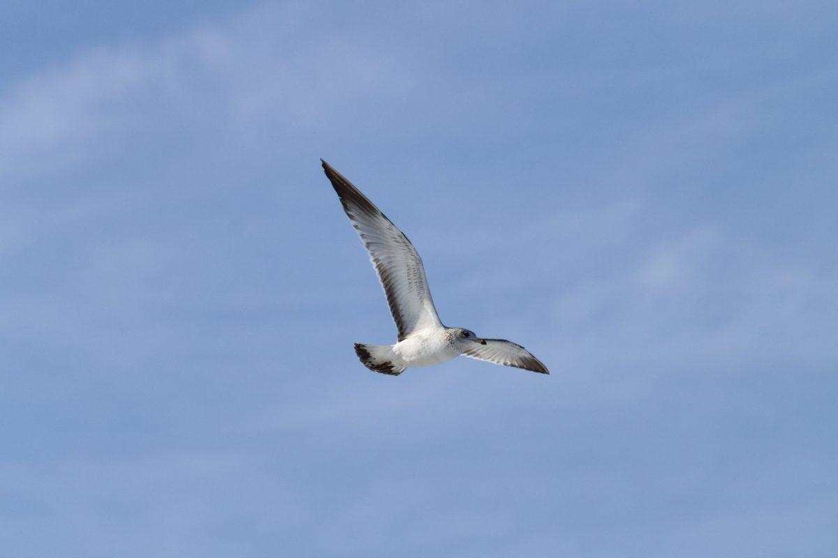 flight, wildlife, blue sky, seagull, nature, bird, seabird, seagull