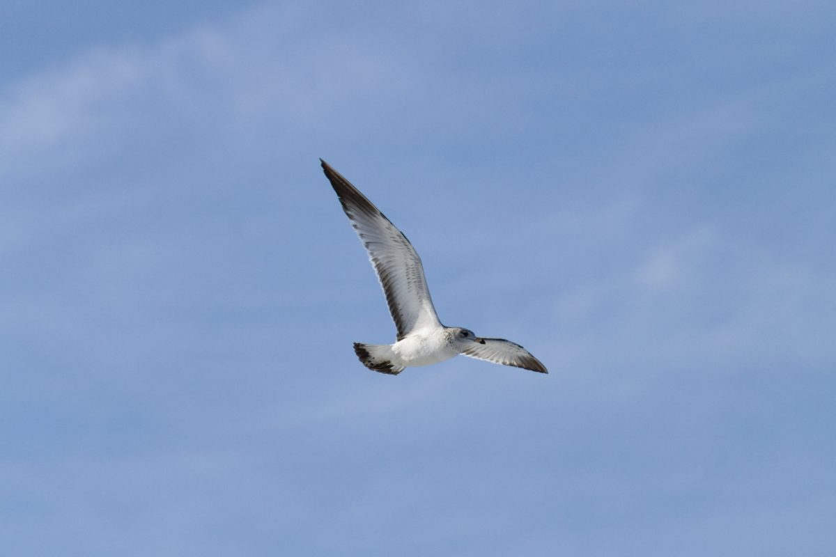 letenje, divljina, plavo nebo, galebovi, priroda, ptica, morske ptice, galebovi