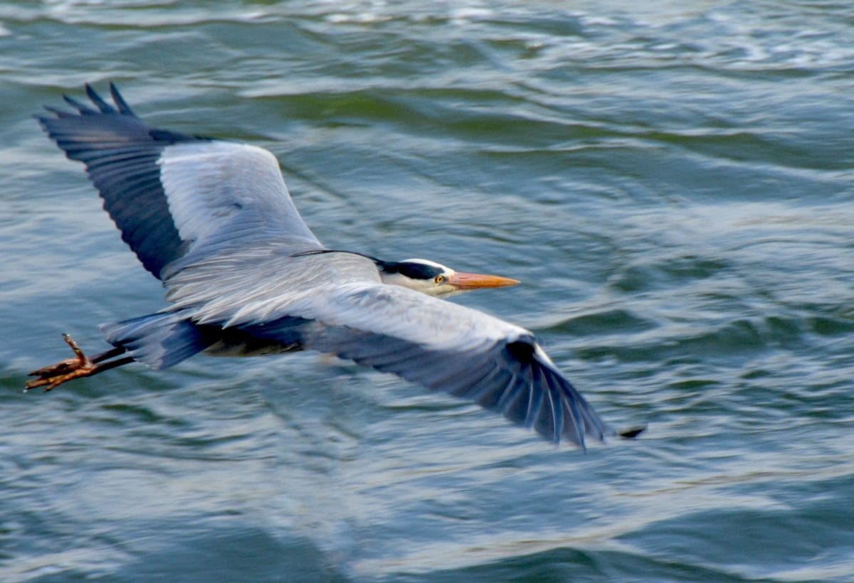 naturaleza, fauna, aves, agua, pico, aves marinas, vuelo, plumas