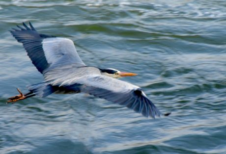 nature, wildlife, bird, water, beak, seabird, flight, feather
