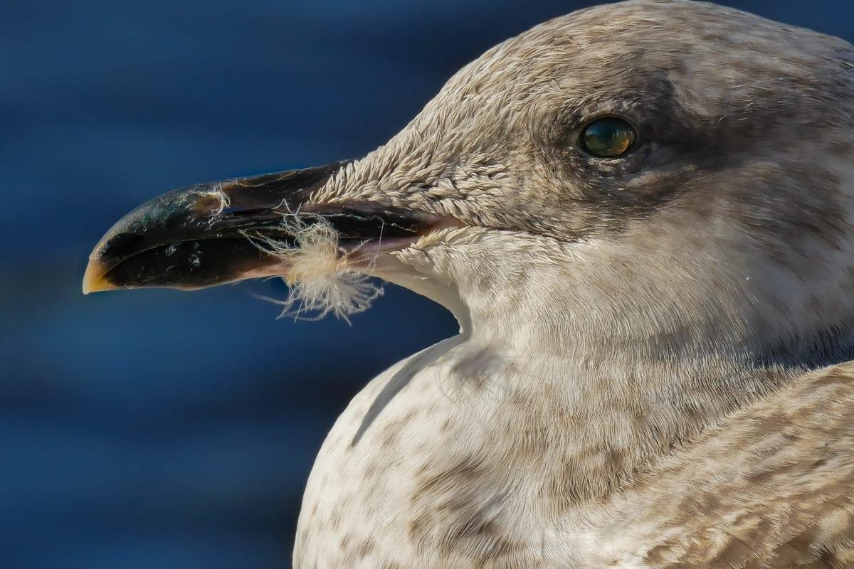 seagull, head, beak, nature, wildlife, bird, seabird, wild, animal