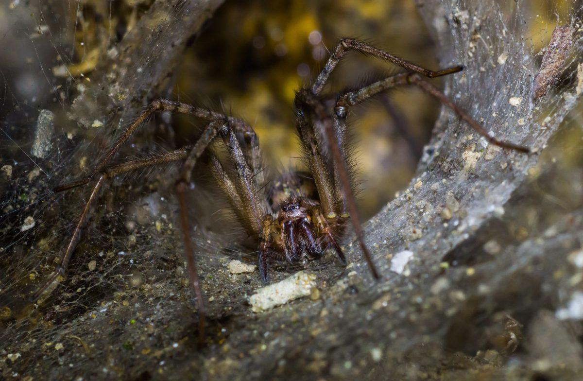 nature, spider, predator, invertebrate, insect, animal, wildlife