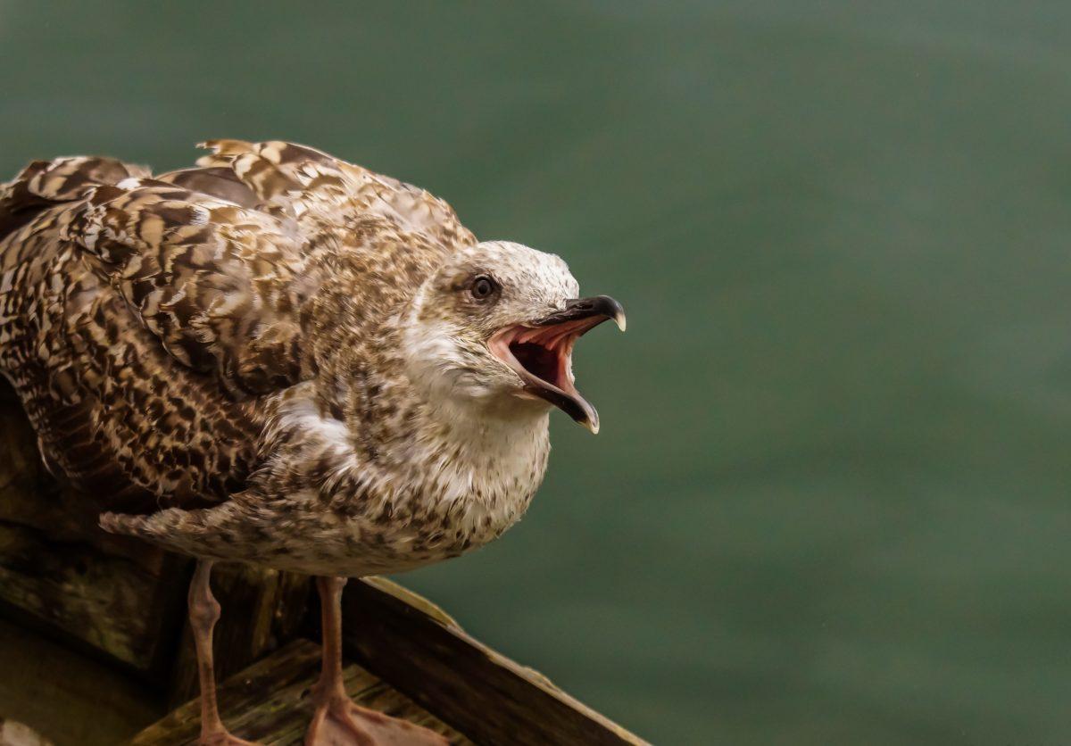 bird, animal, nature, daylight, wild, wildlife, beak, feather, seagull