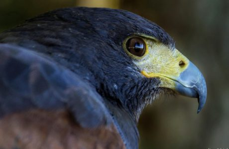 wildlife, nature, hawk, animal, bird, raptor, beak, portrait, head