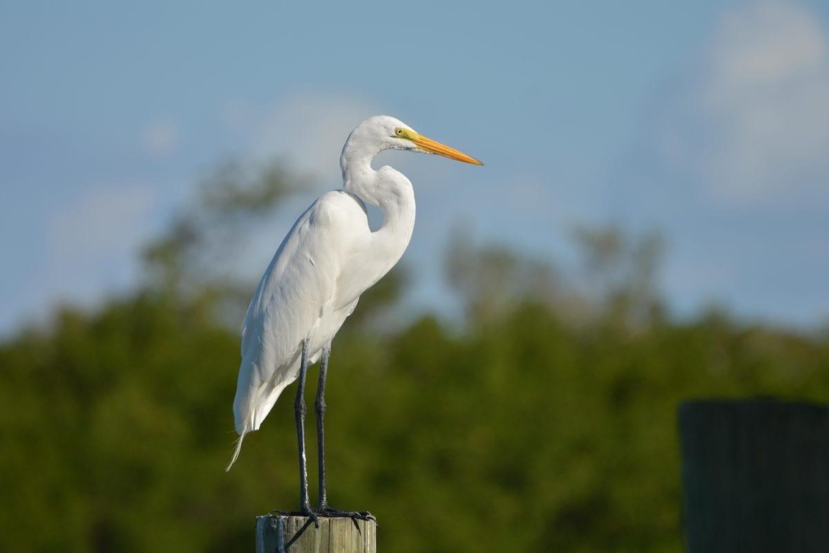 white bird, great heron, egret, wildlife, beak, water, feather