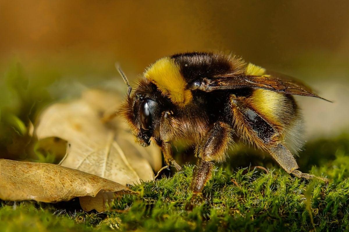 priroda, pčela, mahovina, pčela, kukac, Arthropod, beskraljak