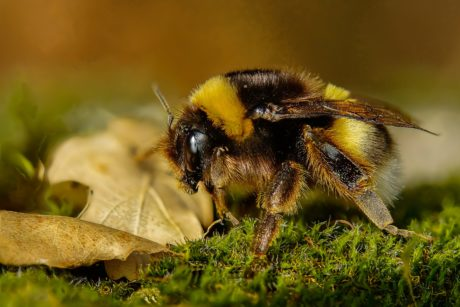 nature, honeybee, moss, bee, insect, arthropod, invertebrate