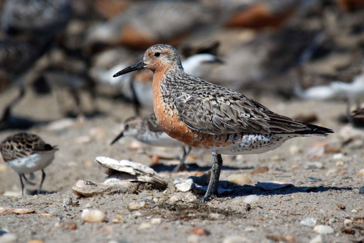 beak, nature, bird, animal, wildlife, shorebird, sandpiper, ground, daylight