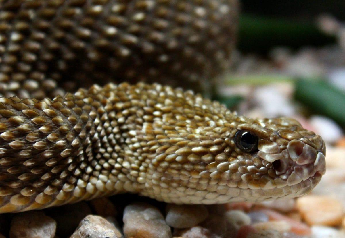 nature, animal, lizard, wildlife, snake, rattlesnake, reptile