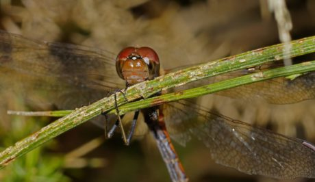 invertebrate, insect, animal, dragonfly, wildlife, nature, green leaf, macro