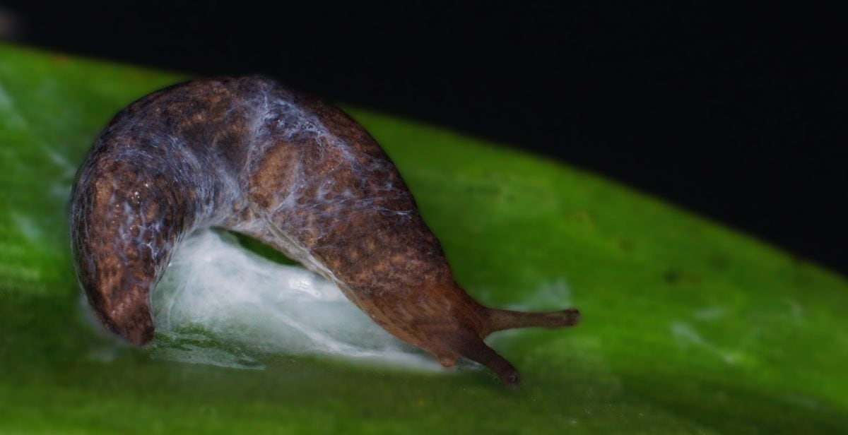 snail, nature, slug, invertebrate, gastropod, wildlife, green leaf