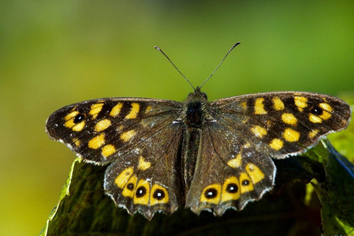 nature, moth, brown butterfly, insect, arthropod, flower, garden