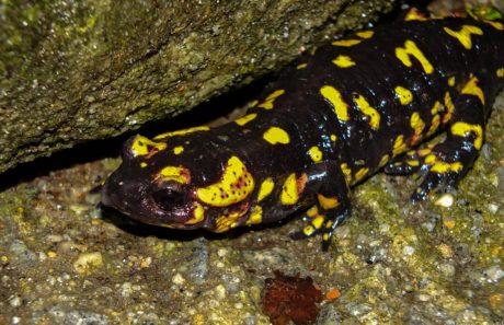 plaz, obojživelníky, farebné Salamander, zviera, zem, kameň