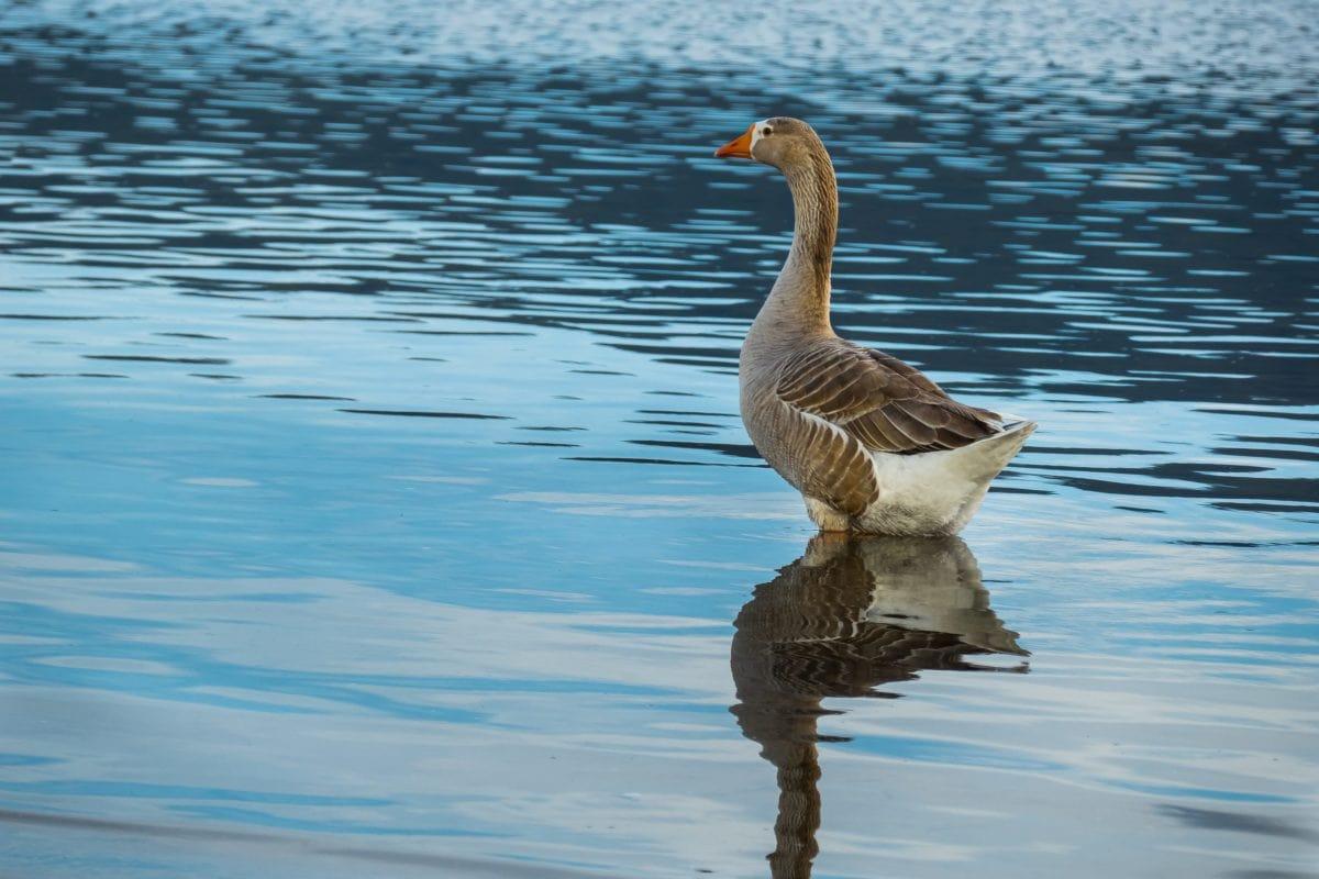 Vogel, Natur, Wasser, See, Wildgans, Wasservögel, Tierwelt, Teich