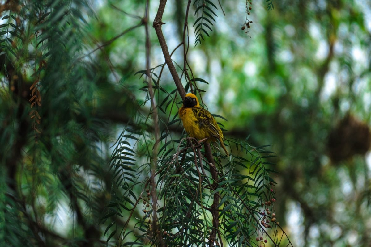 la fauna, madera, árbol, pájaro amarillo, naturaleza, salvaje, conífera, sombra
